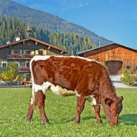 Kühe in Flachau