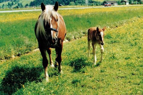 Tiere am Bauernhof in Flachau